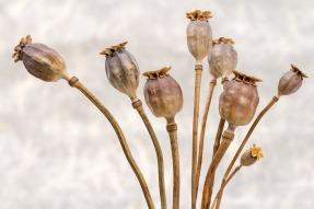 poppy-651036_1920